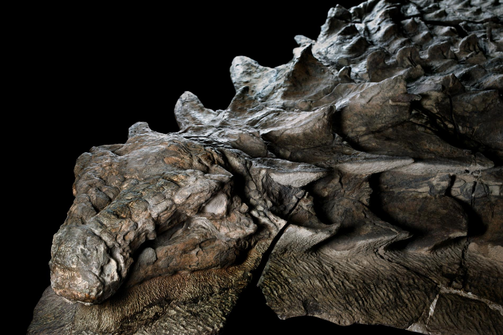 Nodosaur National Geographic  Robert Clark