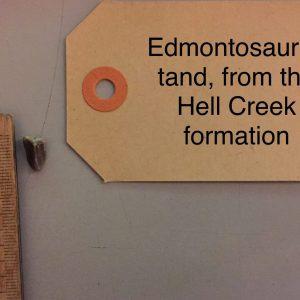 Edmontosaurus Fossiele Tand 1,0 Cm