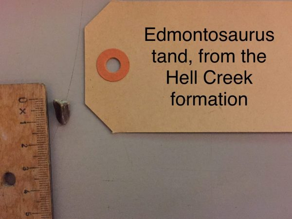 Edmtonosaurus tand