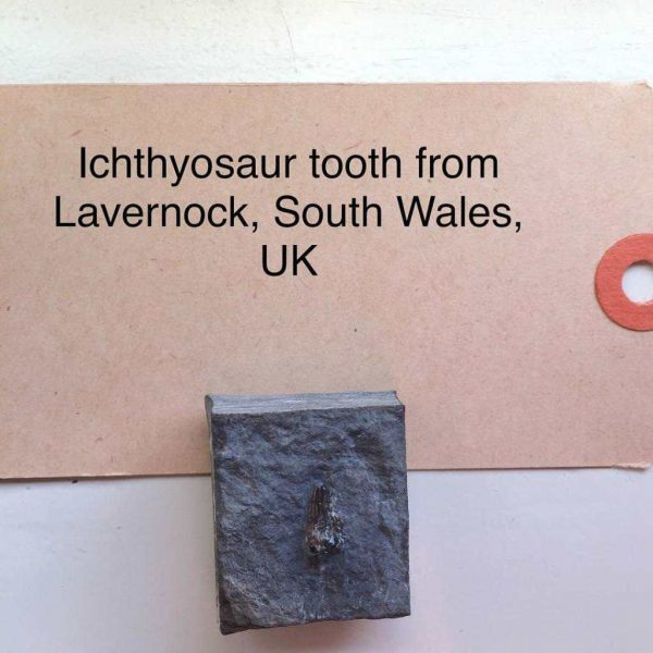 Ichthyosaurus fossiel