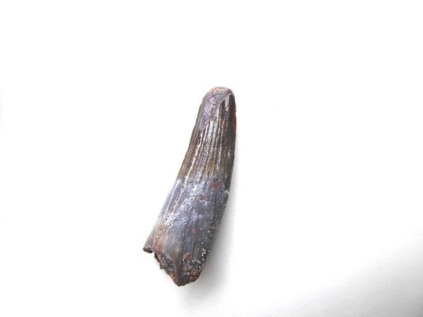 Spinosaurus tand te koop 2