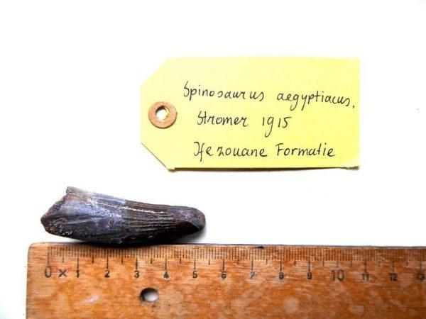 Spinosaurus tand te koop 3
