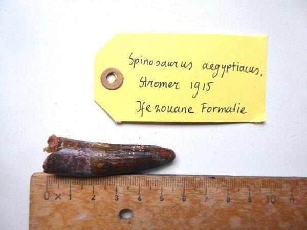 AA Spinosaurus tand 5,5 cm Dinosaurus fossiel 1