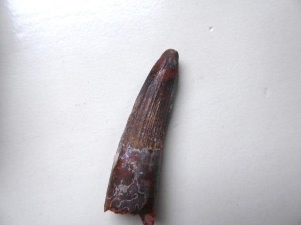 AA Spinosaurus tand 5,5 cm Dinosaurus fossiel 3
