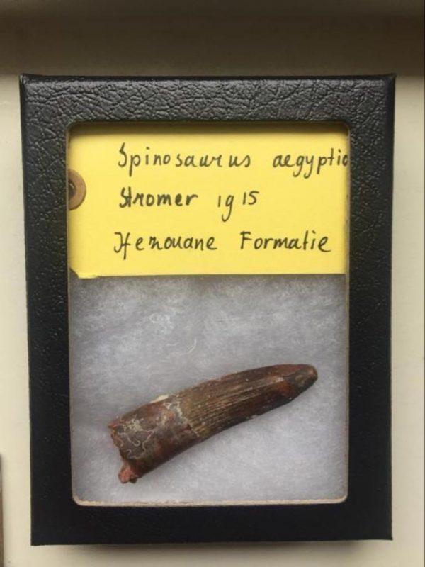 Ongebroken spinosaurus tand