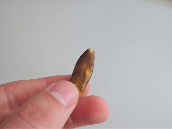 Diplodocidae tand