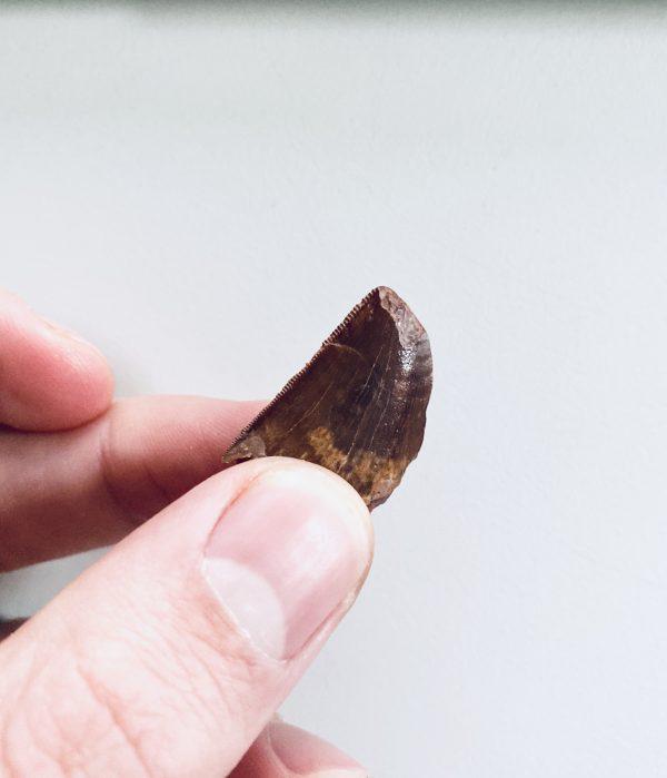 Onvolwassen Carcharodontosaurus fossiel te koop