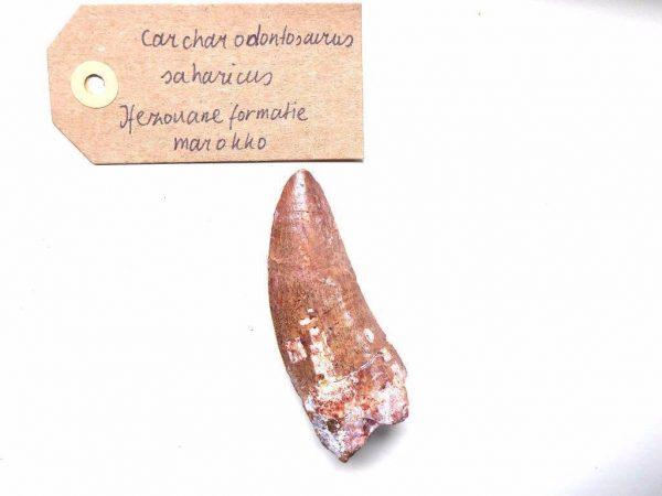 Carcharodontosaurus fossiel