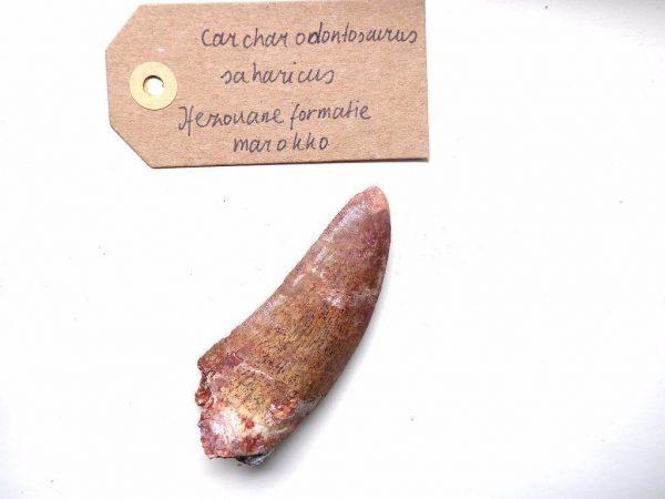 Carcharodontosaurus fossiele tanden