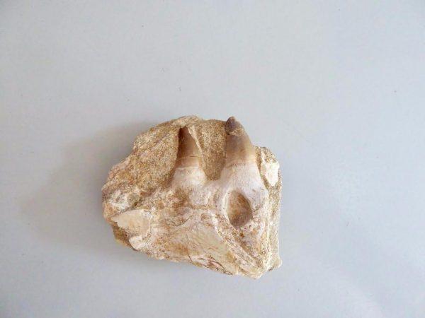 Mosasaurus fossiele kaak