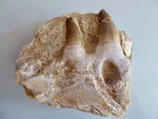 Mosasaurus tanden