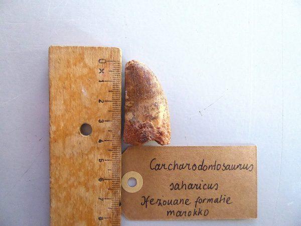 Ongebroken Carcharodontosaurus fossiele tand