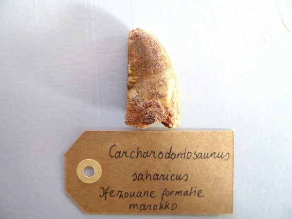 Ongebroken Carcharodontosaurus tand