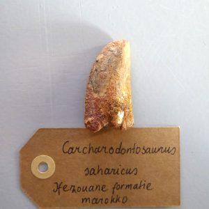 Ongebroken Carcharodontosaurus Fossiel
