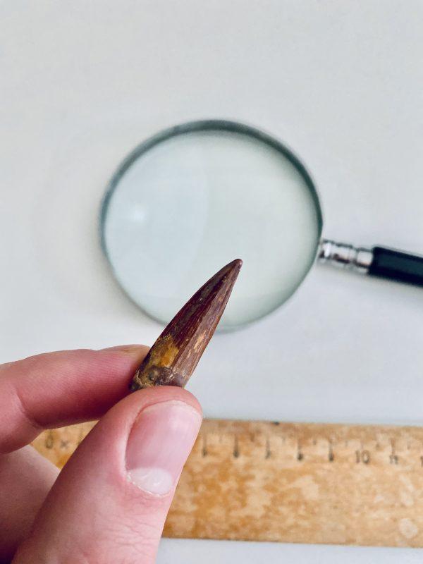 Kwaliteit dinosaurus tand