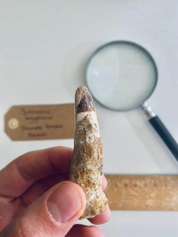 Grote Spinosaurus tand