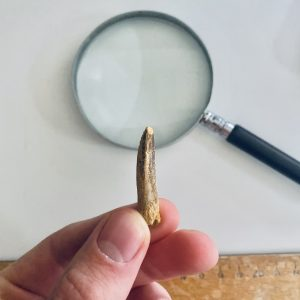 Prachtige Kwaliteit Diplodocus Sp Tand Te Koop