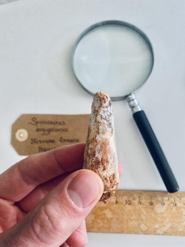 fossiele dinosaurus tand