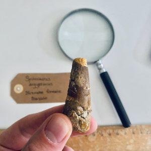 Fossiele Dinosaurus Tand Te Koop