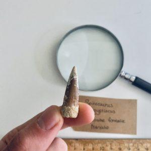 Mooie Fossiele Spinosaurus Tand
