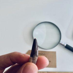 AAA Kwaliteit Kleine Spinosaurus Tand Dinosaurus Fossiel